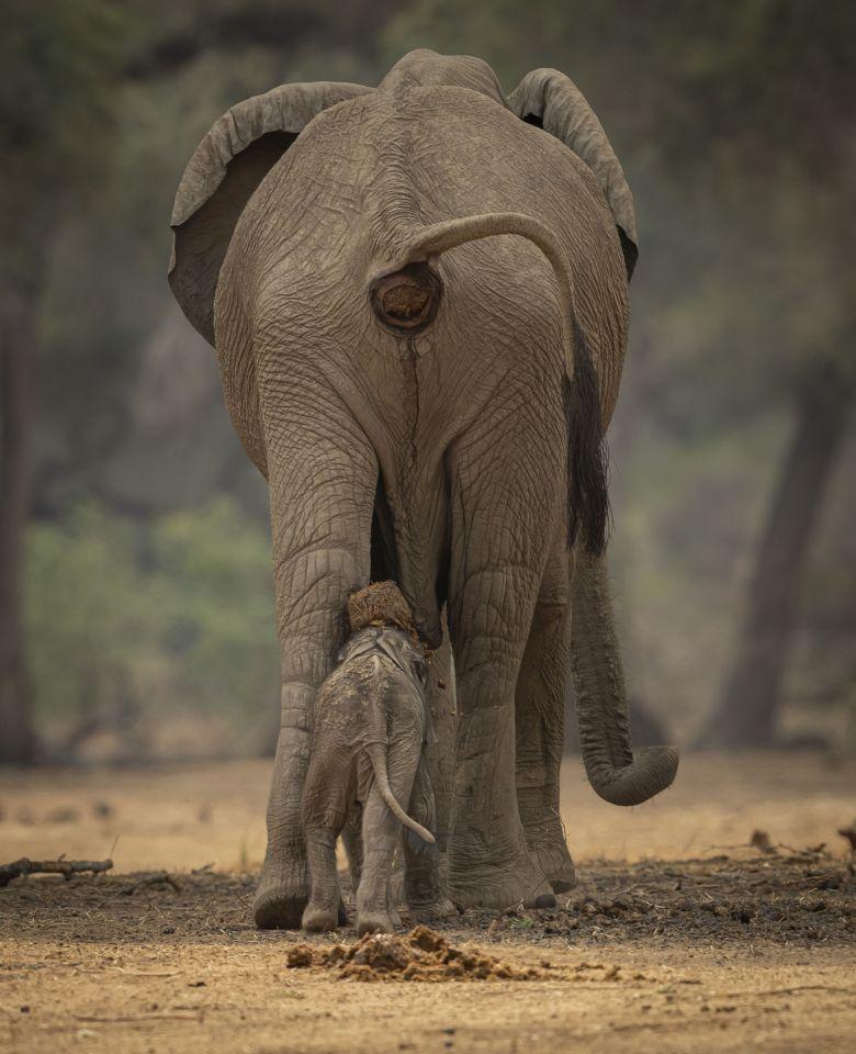 津巴布韦大象妈妈喷出的大便直接掉在幼象头上 目的是为提高小象的免疫力