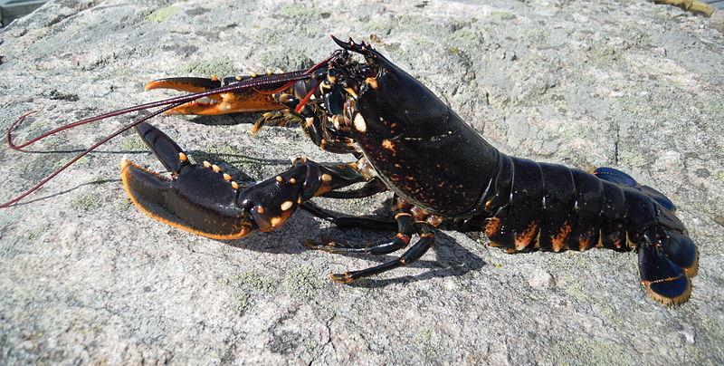 英国东英吉利大学科学家找到方法 可以利用DNA的变化准确测定龙虾的年龄