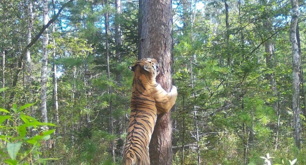 俄罗斯滨海边疆区索科罗夫科村采蘑菇的人们遇到阿穆尔虎 爬到树上后得救