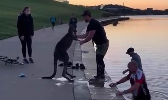 澳洲堪培拉伯利格里芬湖一只袋鼠获救后 竟向救起它的男子握手致谢?
