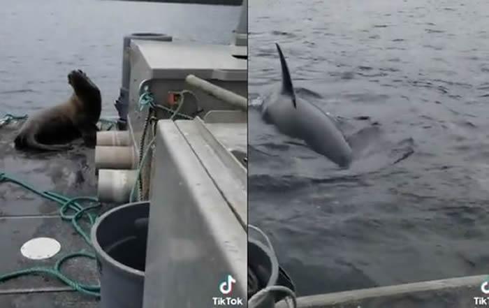 加拿大女子赶走为逃避虎鲸追杀跳上船的海狮 称不能破坏食物链